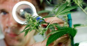 Marihuana para uso medicinal