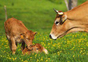 pasate a lo organico- vacas en el campo