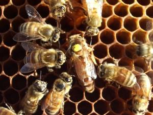 toma jalea real-abejas